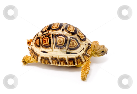 Geochelone Pardalis stock photo, A young tortoise (Geochelone Pardalis) close up - on the white background by Petr Koudelka