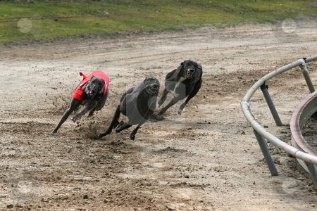 Sprinting greyhounds stock photo, Sprinting greyhounds just before the first turn by Gea Strucks