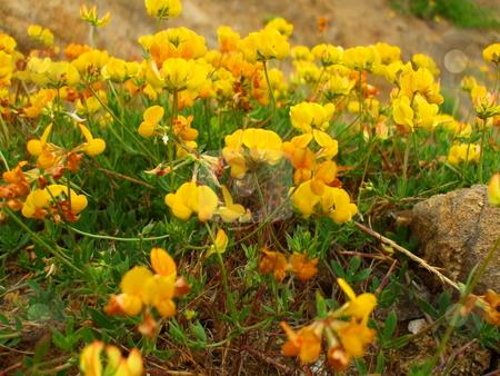 Yellow Coastal Wildflowers stock photo,  by Michael Felix