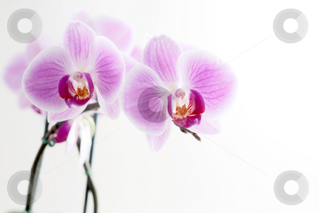 Purple Orchid stock photo, Purple orchid isolated on white background by Alexander Zschach