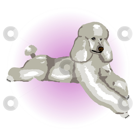 Silver Poodle Lying Down stock photo, A silver poodle relaxing lying down with a purple color spot in the background - a raster illustration. by Karen Carter