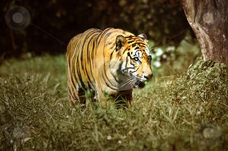 Tiger stock photo,  by Norazshahir Razali