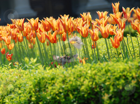 Sparrows among orange tulips stock photo, Sparrows among red and yellow  tulips  outdoor by Julija Sapic