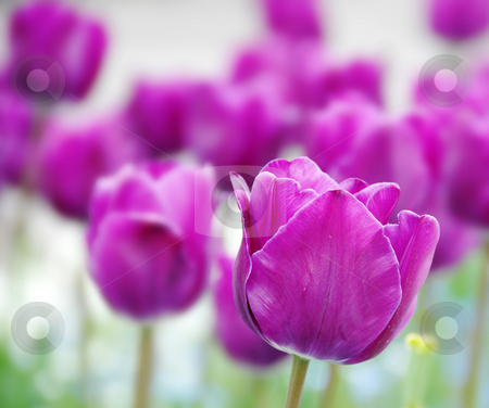 Purple tulips background stock photo, Purple  tulips natural floral backgrounds outdoor by Julija Sapic