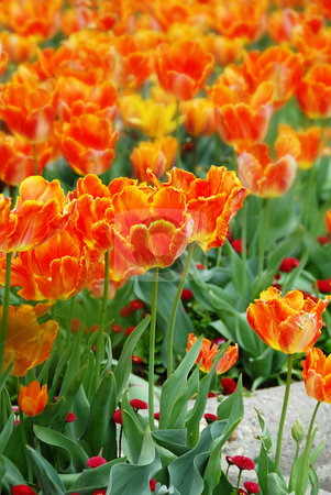 Orange tulips background stock photo, Red and yellow  tulips natural floral backgrounds outdoor by Julija Sapic