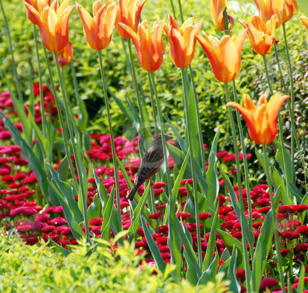Sparrow among orange tulips stock photo, Sparrow among red and yellow  tulips  outdoor by Julija Sapic