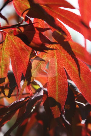 Red Acer Leaves in Sunlight stock photo, Sunlight shining through the red leaves of a Japanese Maple - Acer Palmatum by Helen Shorey