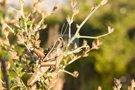 A grasshopper sitting on a branch stock photo, A grasshopper or locust sitting on a small branch of a bush in the afternoon sun. by Nicolaas Traut