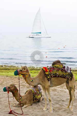 Camels on the beach stock photo, Two camels standing on a beach with a sailboat anchored in the background. by Nicolaas Traut