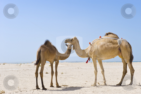 Mother and baby camels stock photo, A mother and baby camel standing in the desert. by Nicolaas Traut