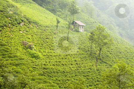 Tea Plants stock photo, Tea plants on the hills of east Turkey by Kobby Dagan
