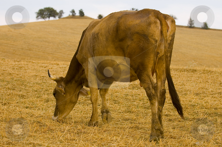 Cow stock photo, Cow on a hill in the Turkish countryside by Kobby Dagan