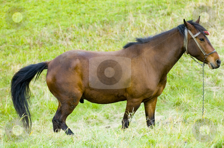 Horse stock photo, Horse in the field at the Bulgarian countryside by Kobby Dagan