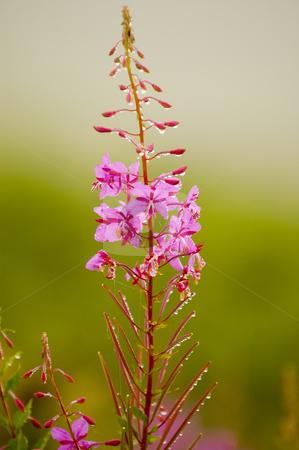 Flower stock photo, Flower in the Kachkar park in east Turkey by Kobby Dagan