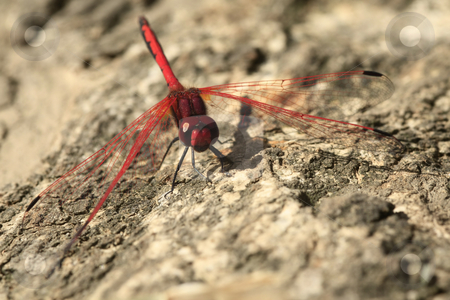 Red dragon stock photo, Red dragonfly resting on a tree trunk by Chris Alleaume