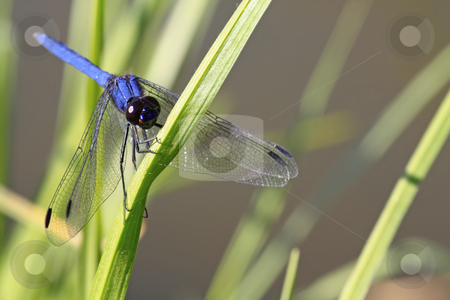 Big blue stock photo, Blue dragonfly clutching to a blade of grass by Chris Alleaume
