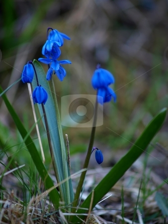 Harebell stock photo, Harebell flowers on early stage at spring by Arve Bettum