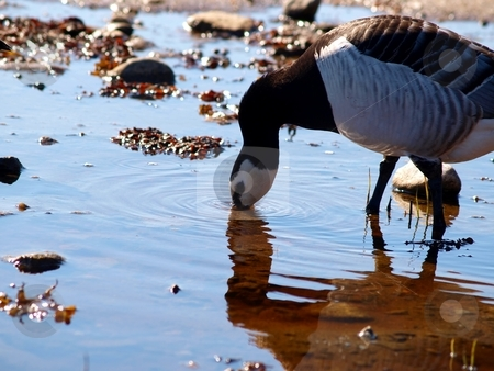 Canada goose drinking water stock photo, One thirsty Canada goose having a zip of water, with a reflection of him self from the little pond by Arve Bettum