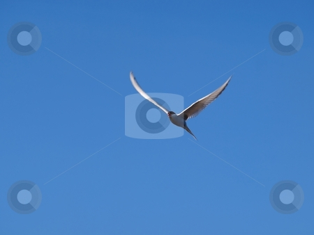 White Tern stock photo, A White Tern on blue background, on the watch for food by Arve Bettum