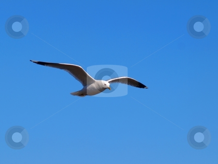 Seagull in the sky stock photo, A Seagull in the sky, on blue background by Arve Bettum