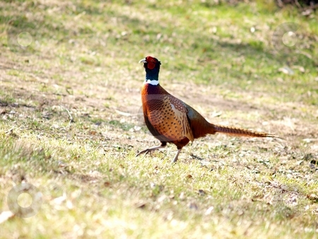 Ring-necked Pheasant stock photo, Phasianus colchicus,  	Pheasants and Partridges, Phasianidae, rooster, wondering about, dominance next to a female pheasant by Arve Bettum