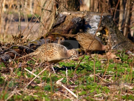 Pheasants and Partridges stock photo, Phasianidae, Pheasants and Partridges, 2 female pheasant wondering for food, by Arve Bettum