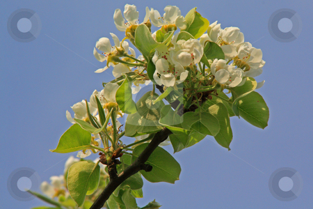 Apple blossom stock photo, Bloomy apple tree in spring in germany, hessen by Manuela Schueler