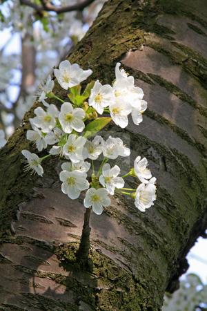 Apple blossom stock photo, Bloomy apple tree in spring in germany, hessen by Manuela Schueler