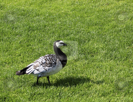 Bird on the grass stock photo, A bird in a garden in Helsinki, Finland by Alessandro Rizzolli