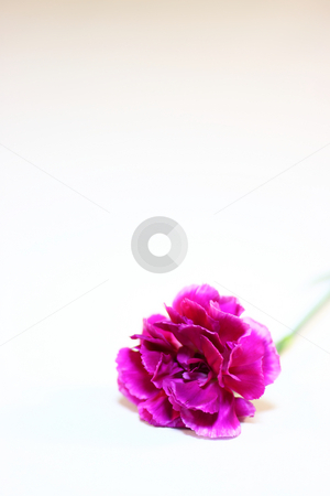Carnation 5 stock photo,  by Tomo Photography