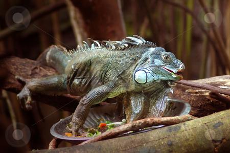 Iguana stock photo,  by Norazshahir Razali
