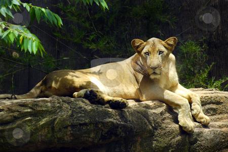 Lion stock photo,  by Norazshahir Razali