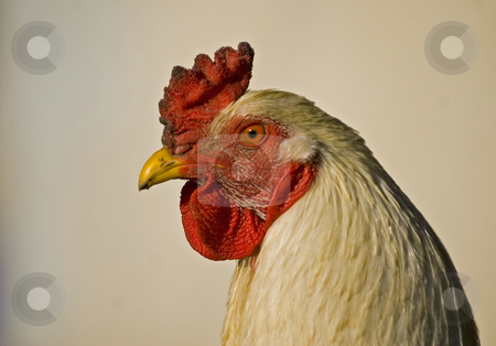 Rooster stock photo, Close up on a rooster head in the farm by Kobby Dagan