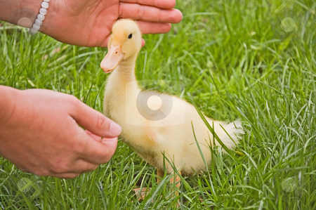 Small Duckling With Hands Reaching stock photo, A photo with a small yellow duckling being watched closely by a pair of loving hands. by Valerie Garner