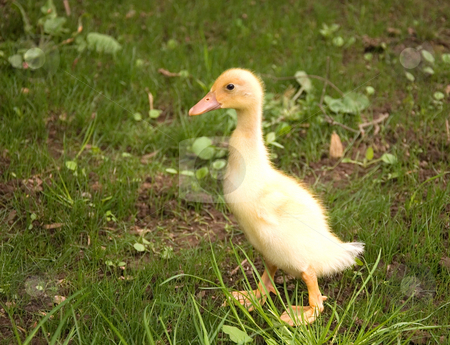One Yellow Baby Duckling stock photo, Photo of one lone yellow baby duckling walking in the grass. by Valerie Garner
