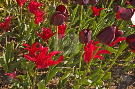 Black and Magenta Tulips stock photo, This garden features black tulips and a different shaped magenta tulip for a beautiful setting. by Valerie Garner