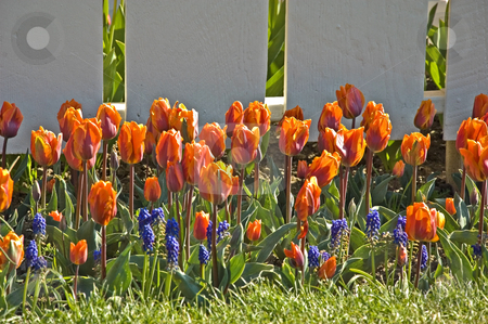 Orange Tulips and Grape Hyacinth Flowers stock photo, This pretty garden setting is against a white fence, brightly colored orange tulips and purple grape hyacinths make this floral setting stand out. by Valerie Garner