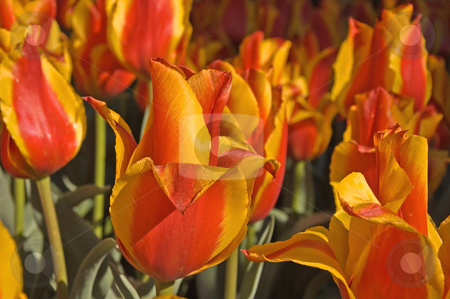 Orange and Yellow Flame Like Tulips stock photo, These brightly colored orange and yellow tulips are unusual and have the shape of a flame. by Valerie Garner