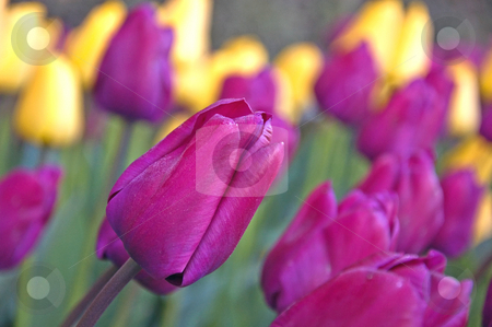 Bright Purple Tulip Among Tulips stock photo, Brightly colored purple tulip is amoung other purple and yellow tulips in this garden scene. by Valerie Garner