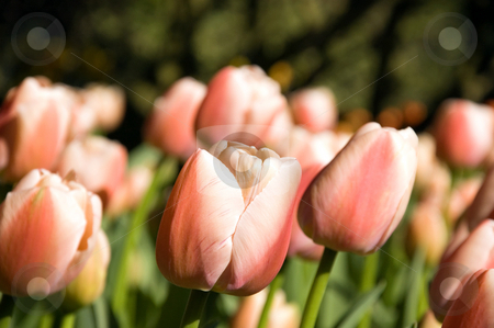 Salmon and Coral Colored Tulips stock photo, These beautiful tulips and multi toned in shades of salmon, coral and creams.  Gorgeous! by Valerie Garner