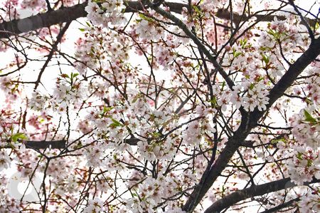 Looking Up at Blooming Cherry Tree stock photo, This looks like a pale pink explosion at a upward view of a full blooming cherry tree. by Valerie Garner