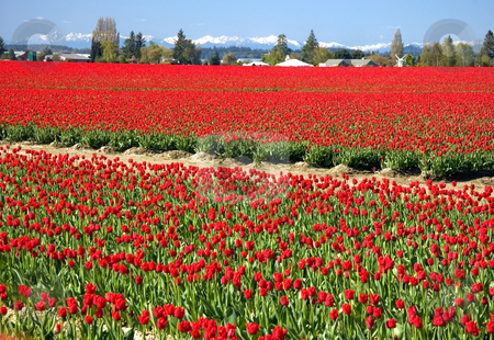 Massive Expanse of Red Tulip Fields stock photo, Stunning landscape of a massive expanse of red tulip fields with Olympic mountain range in the background and blue skies.  Taken in Skagit Valley, Washington. by Valerie Garner