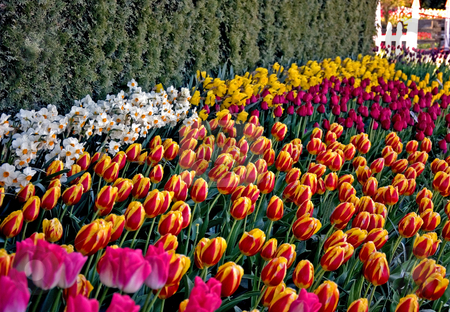 Waves of Brightly Colored Tulips stock photo, This garden is waves of brightly colored tulips and white daffodils for a visually stunning effect. by Valerie Garner
