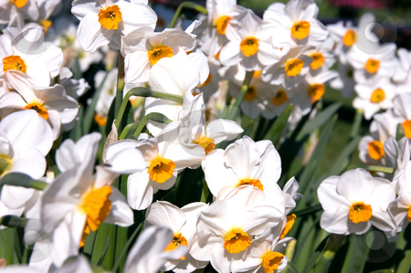 Mass of White Daffodils stock photo, Mass of white daffodils with orange colored centers for a gorgeous floral photo. by Valerie Garner