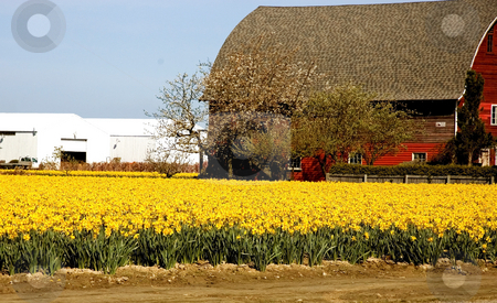 Yellow Daffodil Field with Red Barn stock photo, Stunning field of yellow daffodils with a red barn and outbuildings in the background.  Beautiful rural farm photo. by Valerie Garner