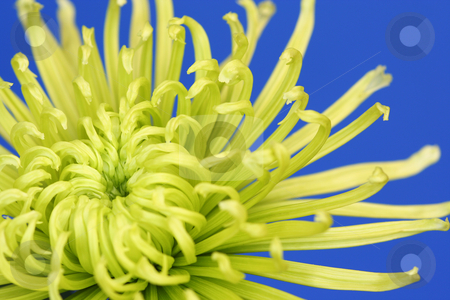 Lime Green Spider Chrysanthemum stock photo, A true macro image showing the heart of an intricate lime green spider chrysanthemum on a mid blue, plain background. by Helen Shorey