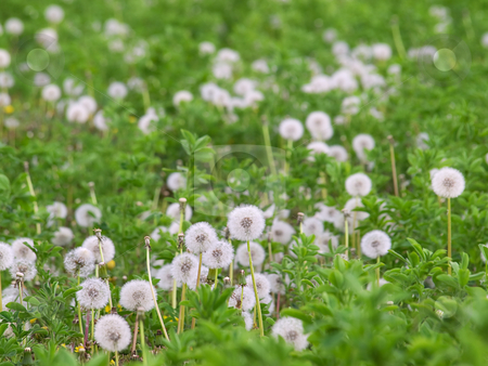 Taraxacum stock photo, Lot of  Dandelions on the field in the spring. by Sinisa Botas