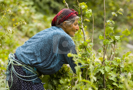 Turkish worker stock photo, Turkish woman working in the field by Kobby Dagan