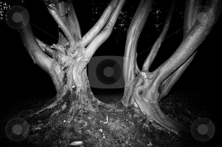 Spooky trees stock photo, Spooky trees in a forest nice for halloween or scary events in black and white by Karin Claus