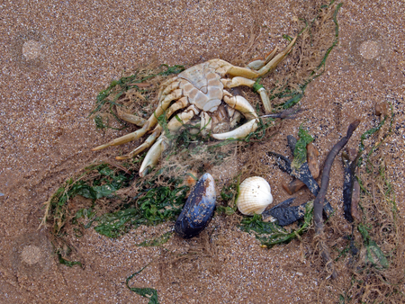 A dead crab on a beach    stock photo, A dead crab on the high tide line. by Ian Langley